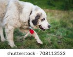 a large white dog walks in...   Shutterstock . vector #708113533