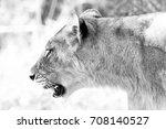 lioness walking though tall... | Shutterstock . vector #708140527