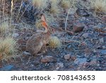 Small photo of African savanna hare