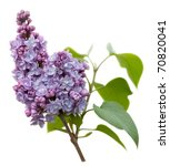 Purple Lilac Flowers  Syringa...