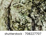 Small photo of The bark of Acer tataricum, Tatarian maple- texture or background