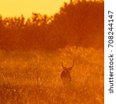 red lechwe standing in tall... | Shutterstock . vector #708244147