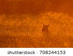 red lechwe standing in tall... | Shutterstock . vector #708244153