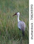 wattled crane adult in... | Shutterstock . vector #708245593
