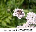 Small Cute Hover Fly On Yarrow...