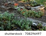 Small photo of Harsh Paintbrush (Castilleja hispida) and Creamy Stonecrop (Sedum oregonense). Iron Mountain, Oregon