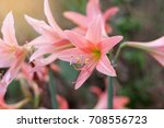 Orange Amaryllis Flower Blooms...