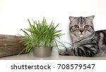purebred kitten scottish fold...   Shutterstock . vector #708579547