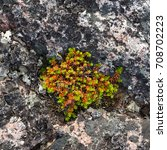 Small photo of Crowberry leaves on the rocks