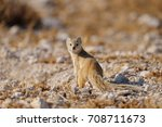 Yellow Mongoose Is Looking ...