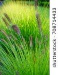 ornamental grass   pennisetum...   Shutterstock . vector #708714433