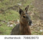 An Adult South American Mara...
