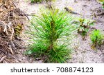 seedlings  pine seedlings in... | Shutterstock . vector #708874123