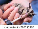 sugar glider in girl's hand. | Shutterstock . vector #708999433
