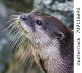an asian small clawed otter... | Shutterstock . vector #709116643
