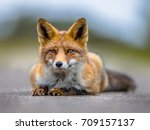 Resting European Red Fox ...