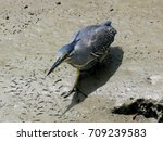 green backed heron  striated... | Shutterstock . vector #709239583