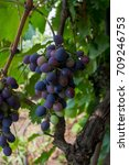 Small photo of Cluster of blue wine grapes background/ dark grapes, purple grapes, Red Grape , Vitis vinifera L. , VITACEAE , Cardinal Grape , Emperor Grape