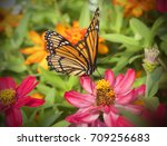monarch butterfly pollinating... | Shutterstock . vector #709256683