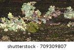 wet multi colored lichen on... | Shutterstock . vector #709309807