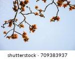 branch of blossoming bombax... | Shutterstock . vector #709383937