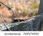 An Eastern Fence Lizard On A...