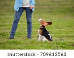 Small photo of Young beagle sit all ears against owner legs. Large funny ears stick up, dog listening and watching for woman order