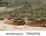 A Red Diamond Rattlesnake in the Santa Ana Mountains of Riverside. - stock photo