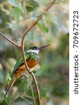 Small photo of A Rufous tailed Jacamar (Galbula ruficauda) perched on a thin twig against a blurred natural background, Pantanal, Brazil