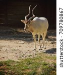 Small photo of White Addax with long antlers