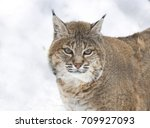 red lynx is a species of lynx... | Shutterstock . vector #709927093