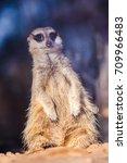 Portrait Of A Meerkat In The...