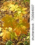Small photo of Autumn in the Park. Autumn yellow leaves. Sunny day Acer platanoides saccharum