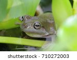 dumpy frogs  tree frogs | Shutterstock . vector #710272003