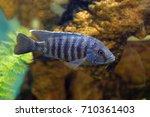aquarium fish pseudotropheus... | Shutterstock . vector #710361403