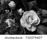 rose  mini roses | Shutterstock . vector #710379607