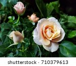 rose  mini roses | Shutterstock . vector #710379613