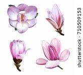 set of pastel pink magnolia... | Shutterstock .eps vector #710509153