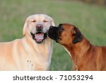 Boxer Dog An Labrador Dog In...