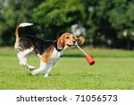 Happy Beagle Puppy Dog In The...