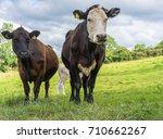 cows in a green field. | Shutterstock . vector #710662267