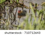 a coot  juvenile  swimming on a ... | Shutterstock . vector #710712643