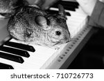 Chinchilla Sits On The Keys Of...