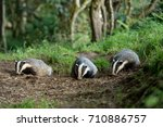 three badgers emerging from a... | Shutterstock . vector #710886757