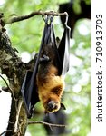lyle's flying fox  pteropus... | Shutterstock . vector #710913703