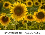 Large Yellow Sunflowers In...