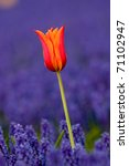 Tulip In Field Of Grape...