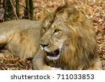 asiatic lion in a national park ... | Shutterstock . vector #711033853