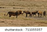 great stand off lion with hyenas | Shutterstock . vector #711055357
