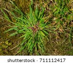 Close Up Of Crabgrass Weed...